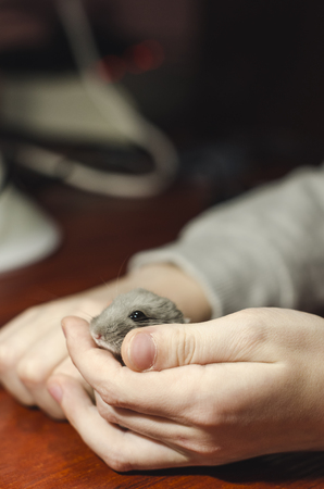 Small grey hamster in the hand of a boy. Friendship of a domestic pet and a kid concept. Wooden table is on the background. 免版税图像
