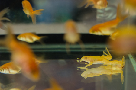 Clear aquarium with a lot of golden fishes and yallow frog and without decor and little stones. School of fish swimming  close up view. Home underwater pets.