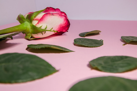 pink floral composition background . A blooming rose  with falling green petals. A flower with copy space