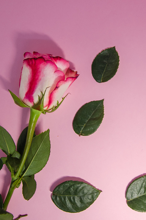 pink floral composition background . A blooming rose  with falling green leaves. A flower with copy space