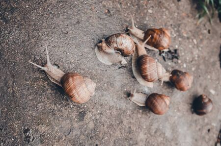 a family of snails racing outdoors on the wet ground from rain