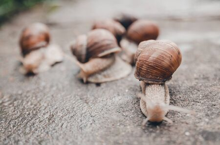 a group of snails outdoors on the wet ground from rain. snail race Banco de Imagens