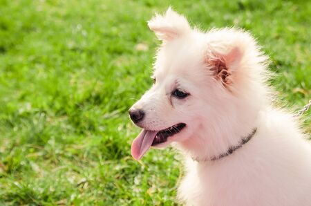little samoyed dog with open mouth is sitting in the park. close up view Stock Photo