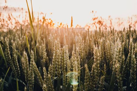 background of meadow of green wheat at sunset 写真素材