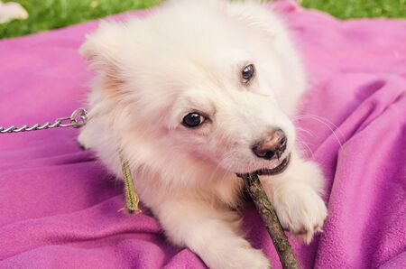 little puppy playing with branch  in the mouth on pink blanket 版權商用圖片