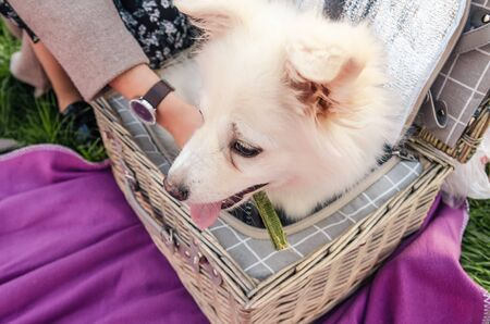 white little dog sitting in the picnic basket. having a picnic with a pet outside Imagens - 133634232