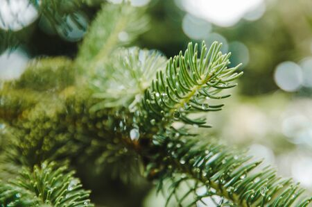 raindrops on spruce needles. fir tree in rainy weather close up view Imagens - 134195026
