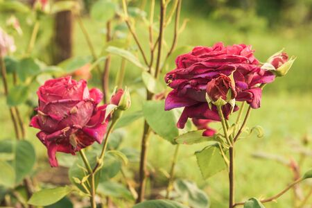 roses blooming in the back yard close up view. garden landscape Imagens