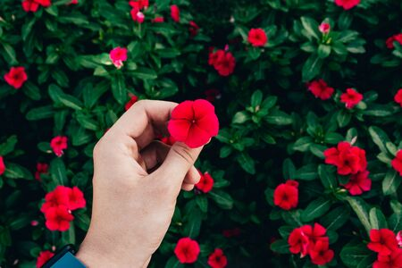 hand holding red exotic flowers on the green leaves background Stock Photo