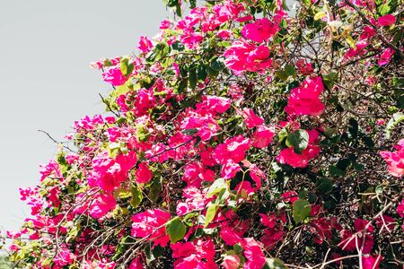 pink flowers blooming in Egypt hotel garden. exotic plants landscape close up Banque d'images