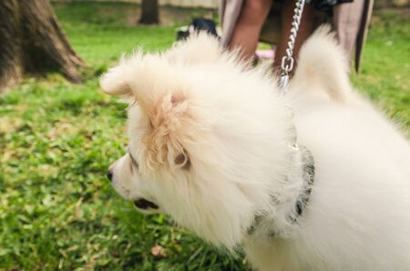 little samoyed dog with smiling face is the park. close up view