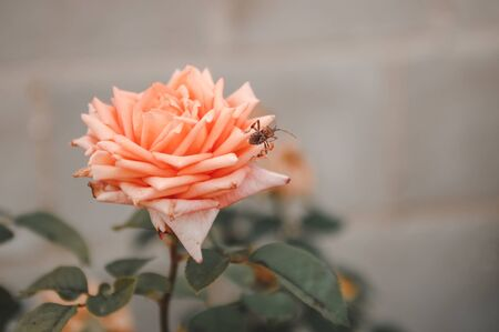 close up of cockroach sitting on a pink rose