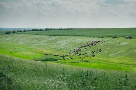 wide view of flock of cows gaze in the green meadow