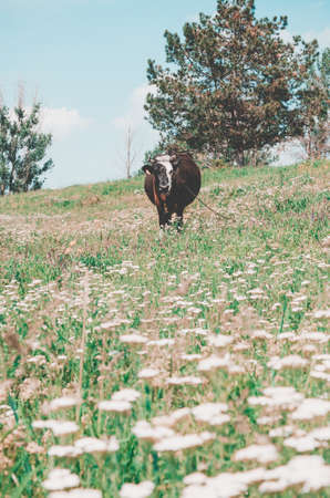 brown cow eat the grass in  green field .  farm concept 스톡 콘텐츠