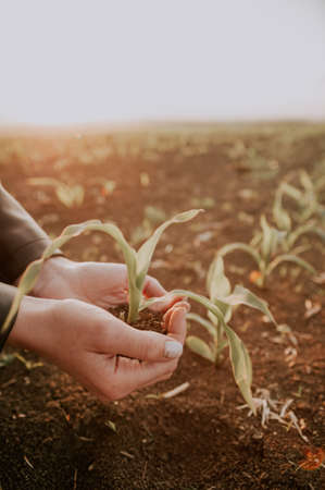 Woman holding green seedling on soil  .  selective focus , agriculture concept .