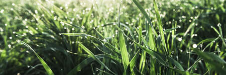 panorama of raindrops on fresh green grass .  morning dew concept . selective focus .