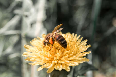 Honey bee collecting nectar from dandelion flower in the summer time. 스톡 콘텐츠