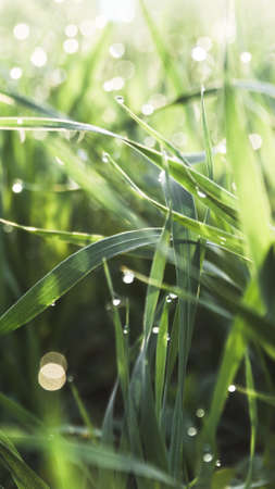 raindrops on fresh green grass .  morning dew concept . close up selective focus .