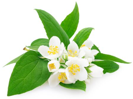 fresh jasmine isolated on white background closeup