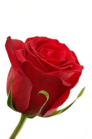 Close-up shot of a red rose bud with water drops on petals Stock Photo - 1675261