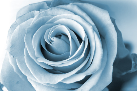 Close-up shot of a silver rose n photo