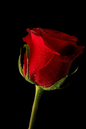 Close-up shot of a red rose bud with water drops on petals Stock Photo - 1675258