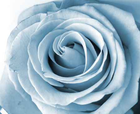 Close-up shot of a silver rose n