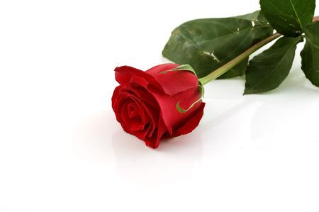 rose bud: Close-up shot di un bocciolo di rosa rossa con gocce d'acqua su petali Archivio Fotografico
