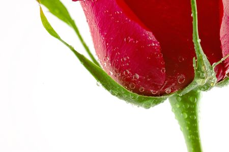 Close-up shot of a red rose bud with water drops on petals Stock Photo - 3168667