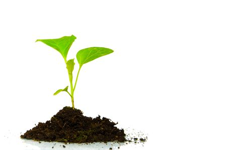 Growing green plant isolated on white background photo