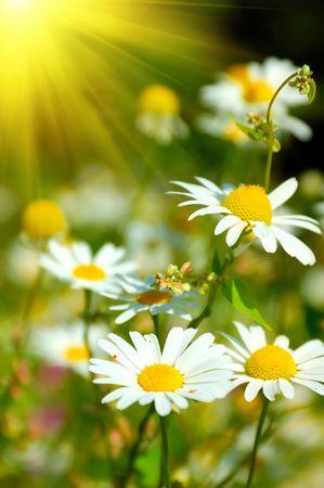 white beautifuls chamomiles on the green background. photo