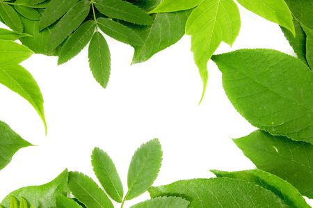 fresh green leaves border on white background   Stock Photo