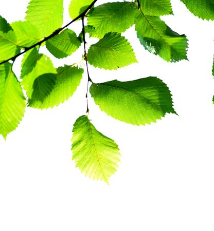 Green leaves on white  photo