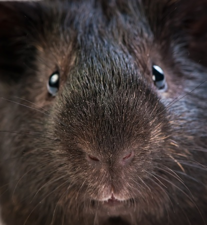 funny brown cavy closel-up photo