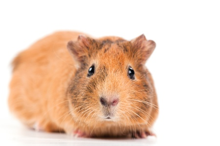 guinea pig on the white background photo