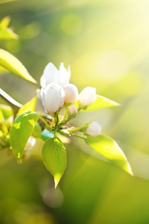 buds: A blooming branch of apple tree in spring  Stock Photo