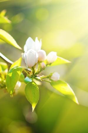 Une branche florissante du pommier au printemps