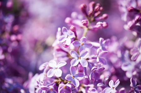 Fragrant lilac blossoms (Syringa vulgaris). Shallow depth of field, selective focus  photo