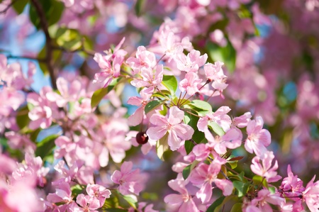 apple blossom: A blooming branch of apple tree in spring  Stock Photo