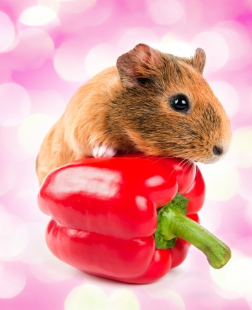 the guinea pig and a red pepper  with pink lights in the background  photo