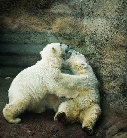 two little Polar Bear - Ursus Maritimus  photo