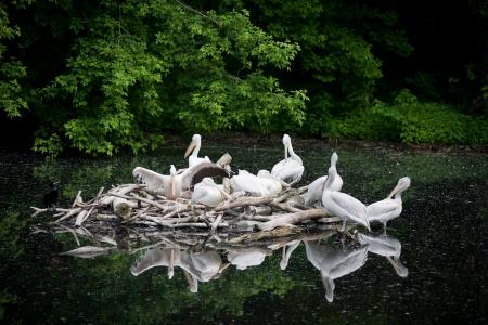 White Pelican - Pelecanus onocrotalus  photo