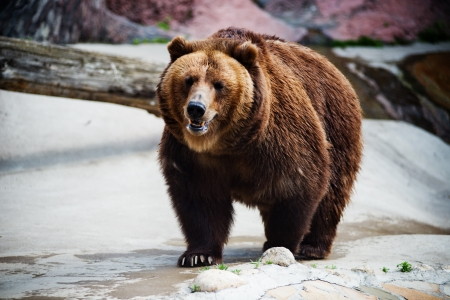 l'orso bruno  Ursus arctos  urs Carpatin Archivio Fotografico