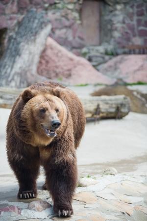 grizzly: l'ours brun  Ursus arctos  urs Carpatin Banque d'images