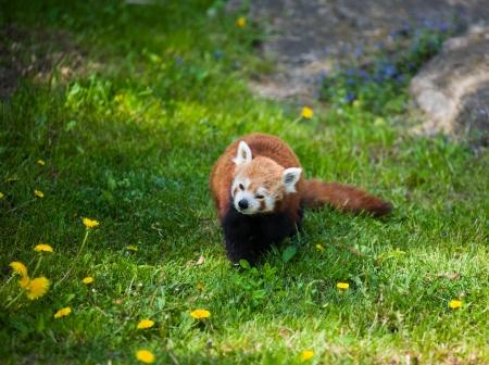Curious red panda  photo