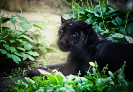 Black Panther Archivio Fotografico