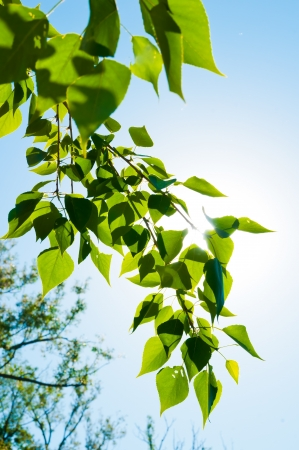 green summer leaves and blue sky with sun photo