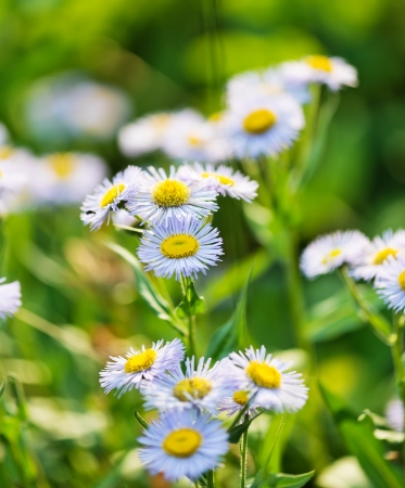 Wild blue asters  photo