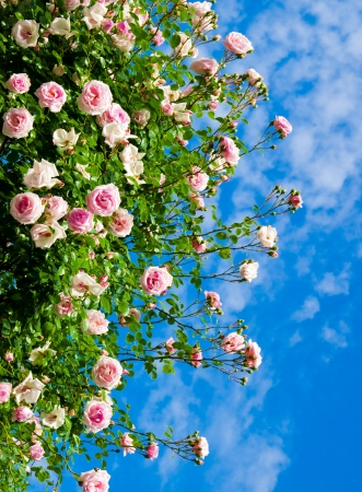 roses against blue sky. Rose Garden in the Prague