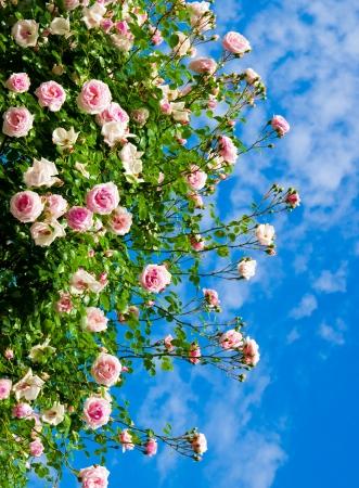 wild botany: roses against blue sky. Rose Garden in the Prague
